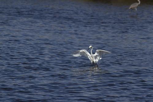 Snowy Egret SOOC