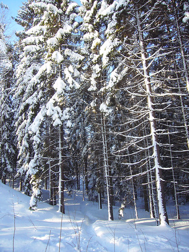 tall trees, covered in snow
