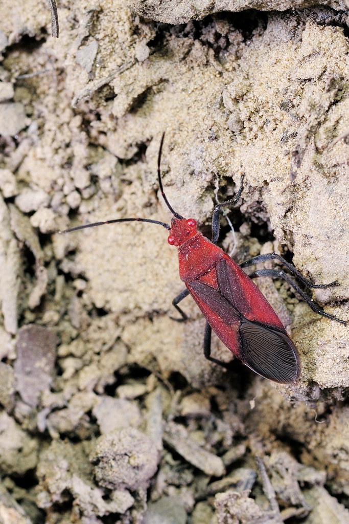 大紅姬緣椿 Leptocoris abdominalis abdominalis