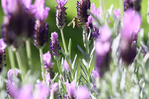 Bees in the lavendar