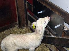 Lamb nursing