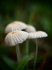 Tiny umbrellas (dm|ze) Tags: macro closeup tag3 taggedout mushrooms tag2 tag1 pinhole fungus om extensiontubes artfilter