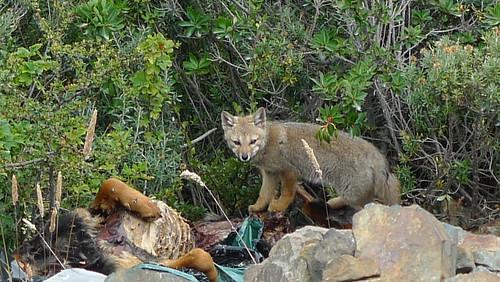 Patagonian Fox - Ushuaia, Argentina