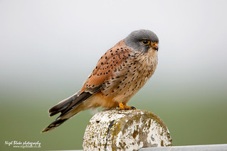 Common Kestrel, Falco tinnunculus, male.