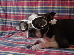 "Feb 19 2011 [Day 110] Song Lyric Saturday"" (James_Seattle) Tags: dog 1969 boston swimming sam sony cybershot 365 february speedo k9 year1 dscf717 2011 swimgoggles sonycybershotdscf717 mamacass casselliot bostonterrrier makeyourownkindofmusic jamesseattle songlyricsaturday"
