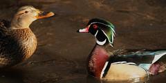 The little wood duck and his mallard girlfriend (Ducklover Bonnie) Tags: toronto couple highpark lovers mallard woodduck highparktoronto img4022