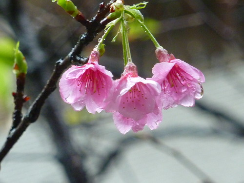 2011 sakura。 216巷早謝的櫻花