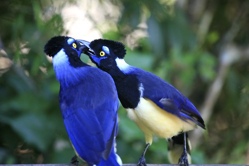 Kissing Plush-crested Jays