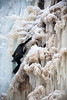 "Climbing ""Fudgesicle"" WI4 (Amicus Telemarkorum) Tags: winter colorado rockymountains climber february iceclimbing ouray 2011 wi4 fudgesicle icepark jeffreyrueppel advancedyetiproductions scotchgullies"