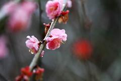 (Yaoo Sheng Ming) Tags: plum taiwan taichung    plumblossoms   wulingfarm