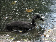 Baby coot swimming in filthy water (Linda DV) Tags: flower closeup canon geotagged belgium arboretum dirty pollution shit meise 2010 jardinbotanique plantentuin nationalbotanicgardenofbelgium pollutedwater powershots5is meiseplantentuin nationaleplantentuinmeise lindadevolder powershotss5is