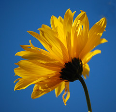 Sunshine And Blue Sky.... (Wire_cat) Tags: blue flower sunshine bluesky sunnyday wirecat yellowjerusalemartichoke
