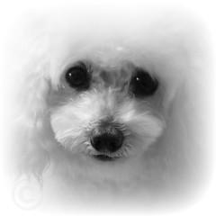 Billy in white (jjamv) Tags: dog puppy poodle billy minaturepoodle 100commentgroup mygearandme mydogbilly jjamv juliusvloothuis