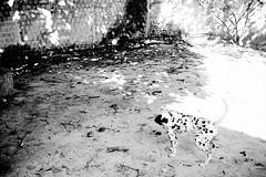 Ruanita (Messias Brando) Tags: white black flash preto cao linda brando cachorra cadela dalmata exposiao