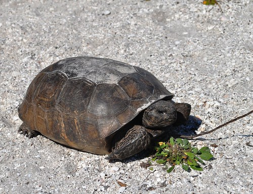 Gopher Tortoise, Don Pedro Island State Park, Fla.