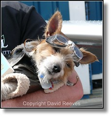 (David.G.Reeves) Tags: sleeping dog pet goggles hound canine pooch fancydress dressed pilot flyingdog
