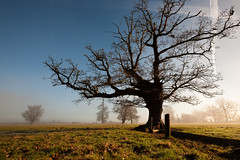 Gnarly Oak, Misty Dawn (Ian Hayhurst) Tags: morning mist oak canonef1635mmf28liiusm