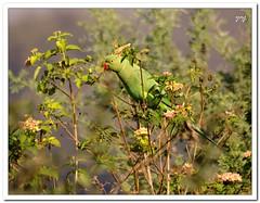 Hiding in Green (Yogendra174) Tags: india birds canon birding sigma parrot maharashtra pune joshi yogendra birdphotography indianbirds canonrebelxs sigmaapodgmacro70300