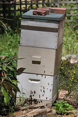 An active beehive