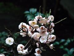 Bonsai Ume (Rekishi no Tabi) Tags: japan tokyo  shinto edo plumblossoms  kotoku  kuzumochi umeblossoms  shintoshrines   funabashiya kameidotenjinshrine famousedoperiodshops