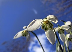 only white on the outside (Wim Koopman) Tags: flowers trees winter sky macro closeup clouds canon garden photography photo spring stock powershot bulbs snowdrops inside stockphoto s90 sneeuwklokje stockphotography s100 wpk s95