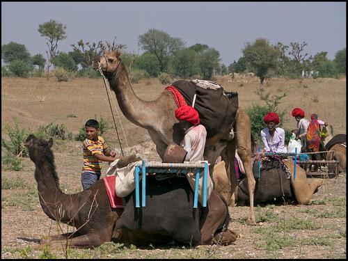 Nomads Of Rajasthan. Rajasthan Nomads. Unloading the camels