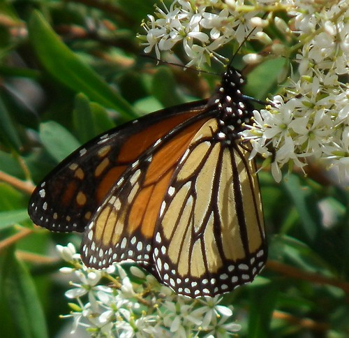 monarch butterfly 06