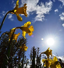 Spring Sunshine! (pallab seth) Tags: blue england sky cloud sun flower color colour macro london sunshine spring nikon eu daffodil dslr essex barking eastlondon londoner londonist yellowspringflowers nikon1855mmf3556gafsdxvr d3100 nikond3100