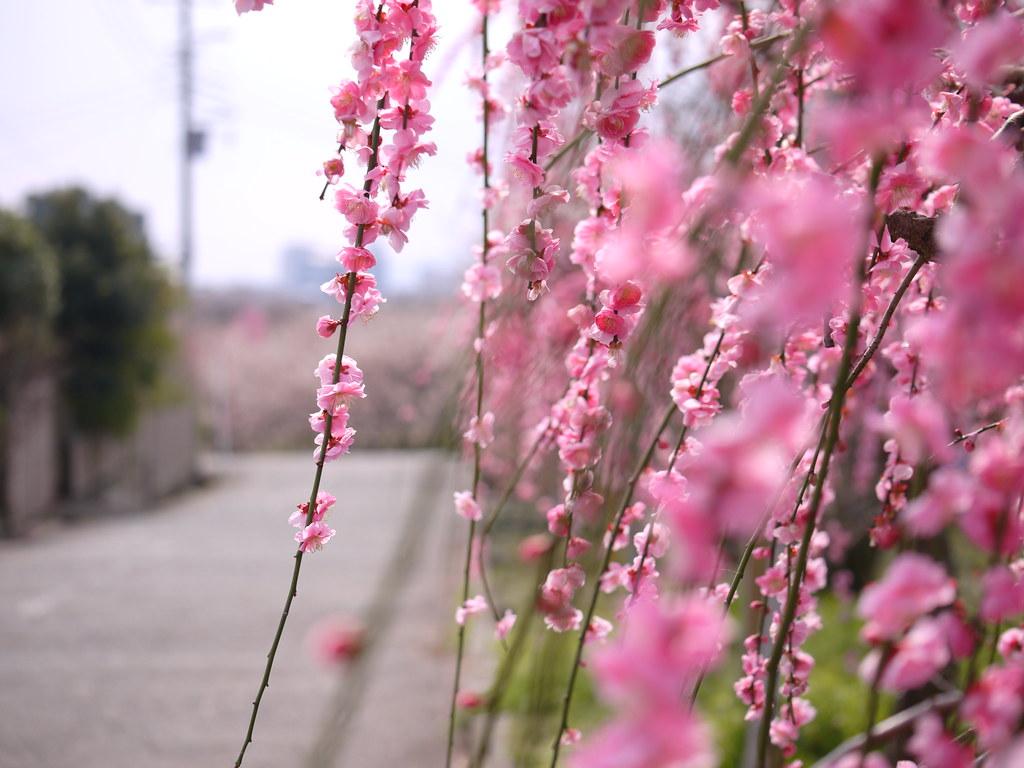 Ume flower