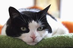 Chill (Marcela Lucero) Tags: pets cat chat kitty mina gata mascota gatta