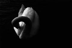 Clichè (sgrazied) Tags: blackandwhite lake water lago swan italia rimini canoneos20d verona acqua biancoenero gardalake lagodigarda romagna lazise clichè cigno villadeicedri luceeombra colà piumaggio sgrazied interphoto candore