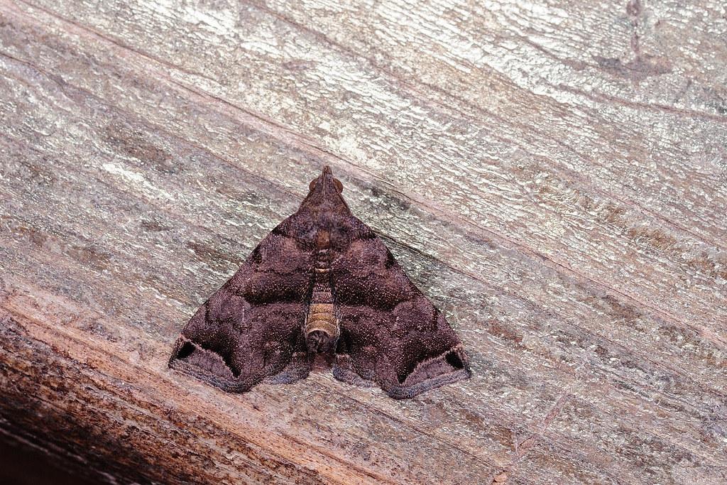 黑褐髯鬚夜蛾 Hypena tenebralis