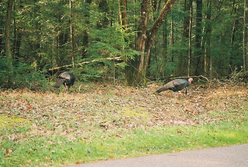 Great Smoky Mountains National Park wild turkeys