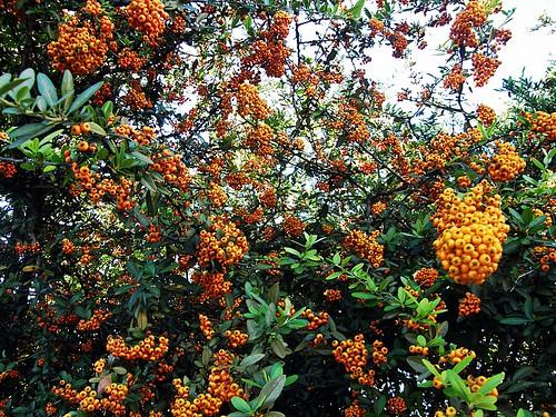frutos de crataegus