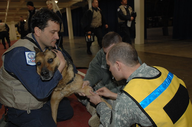 Base personnel in Misawa draw blood from VA search & rescue unit dog.