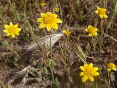Goldfields 01 (Tom Hilton) Tags: color wildflowers windwolvespreserve