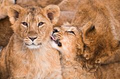 [フリー画像] 動物, 哺乳類, ネコ科, ライオン, 201103171100
