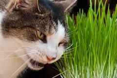 Fresh (coffeego) Tags: green cat canon 50mm george succulent chomp munch catgrass 2011 nom 40d dailyshoot