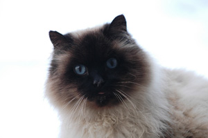Longhair Siamese cat who is a stray community cat