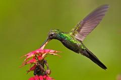 Chlorostilbon swainsonii-Hispaniolan Emerald Hummingbird-Zumbador Esmeralda de la Española-male (rafyrodriguezphotography) Tags: chlorostilbonswainsonii hispaniolanemerald zumbadoresmeraldadelaespañola