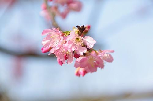 測試林口的櫻花