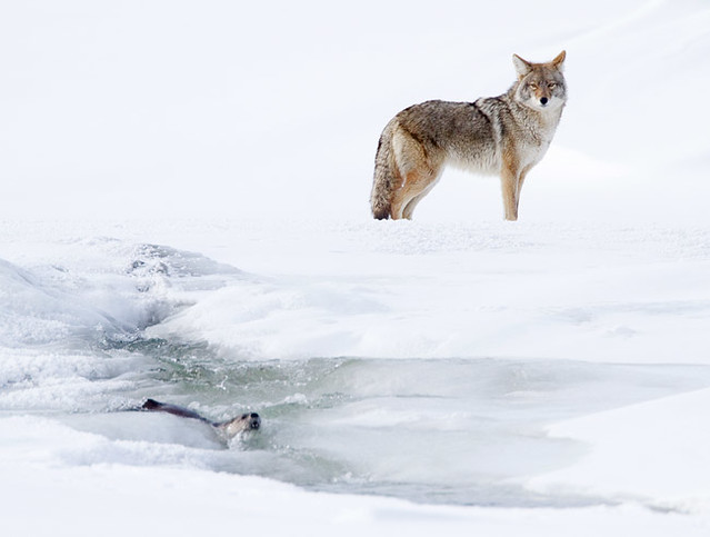 Otter vs. Coyote: I Ran Away From That?