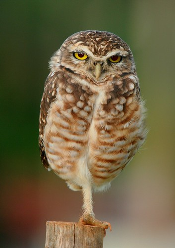 [Free Image] Animals, Bird, Strigidae, True Owl, Burrowing Owl, 201103211700