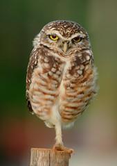 [フリー画像] 動物, 鳥類, フクロウ科, フクロウ, アナホリフクロウ, 201103211700