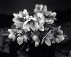 Hellebores, Seattle, Washington (Tyler Westcott) Tags: seattle blackandwhite flower monochrome march washington hc110 hellebore ilfordfp4 2011 dektol ilfordmgiv