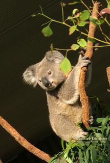 Koala at Sydney Wildlife, Darling Harbour