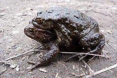 Mating Toads (Bufo Bufo) (Puerto De Liverpool.) Tags: uk greatbritain england male female unitedkingdom path breeding twig mating spawn amphibians pathway sthelens clasped merseyside bufobufo rainford amplexus commontoads