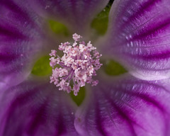 Pollen bouquet (macropoulos) Tags: flower purple stamen mallow malvaceae pollen wildflower gettyimages anther malva sylvestris canoneos5d canonspeedlite430ex malvales canonmpe65mmf2815xmacro gettyimages:date_added=pre20110607
