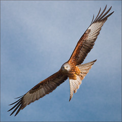 ~ The Eyes Have It ~ (izzy's-photos) Tags: redkite gigrinfarm goldwildlife mygearandme mygearandmepremium blinkagainfrontpage