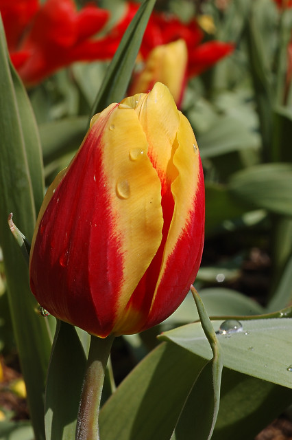 Missouri Botanical Garden (Shaw's Garden), in Saint Louis, Missouri, USA - yellow and orange tulip
